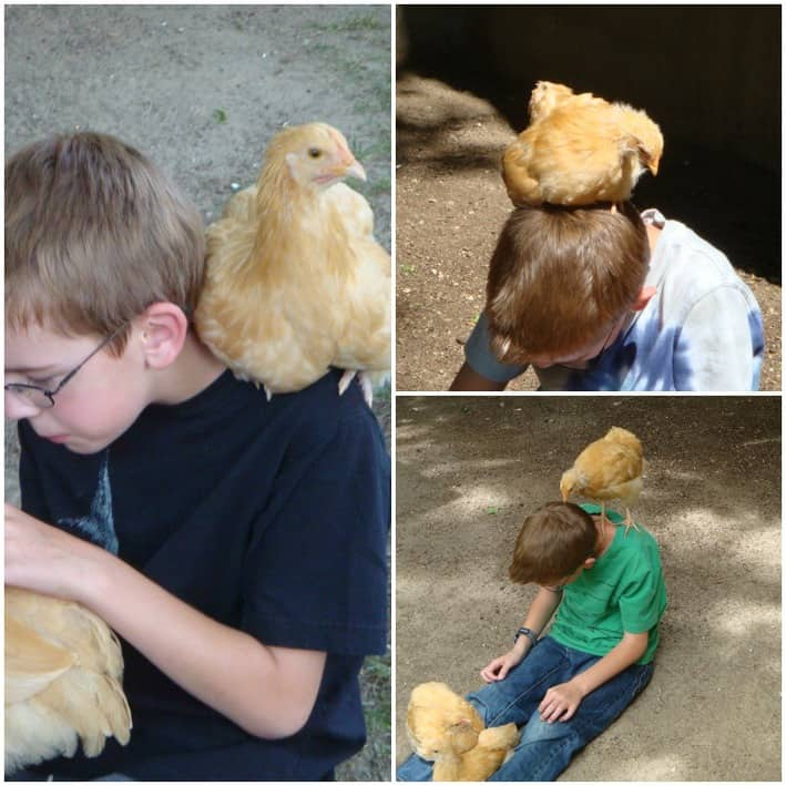 Chickens as pets.